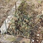 Early onion crop