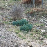 Daffodils coming up strong